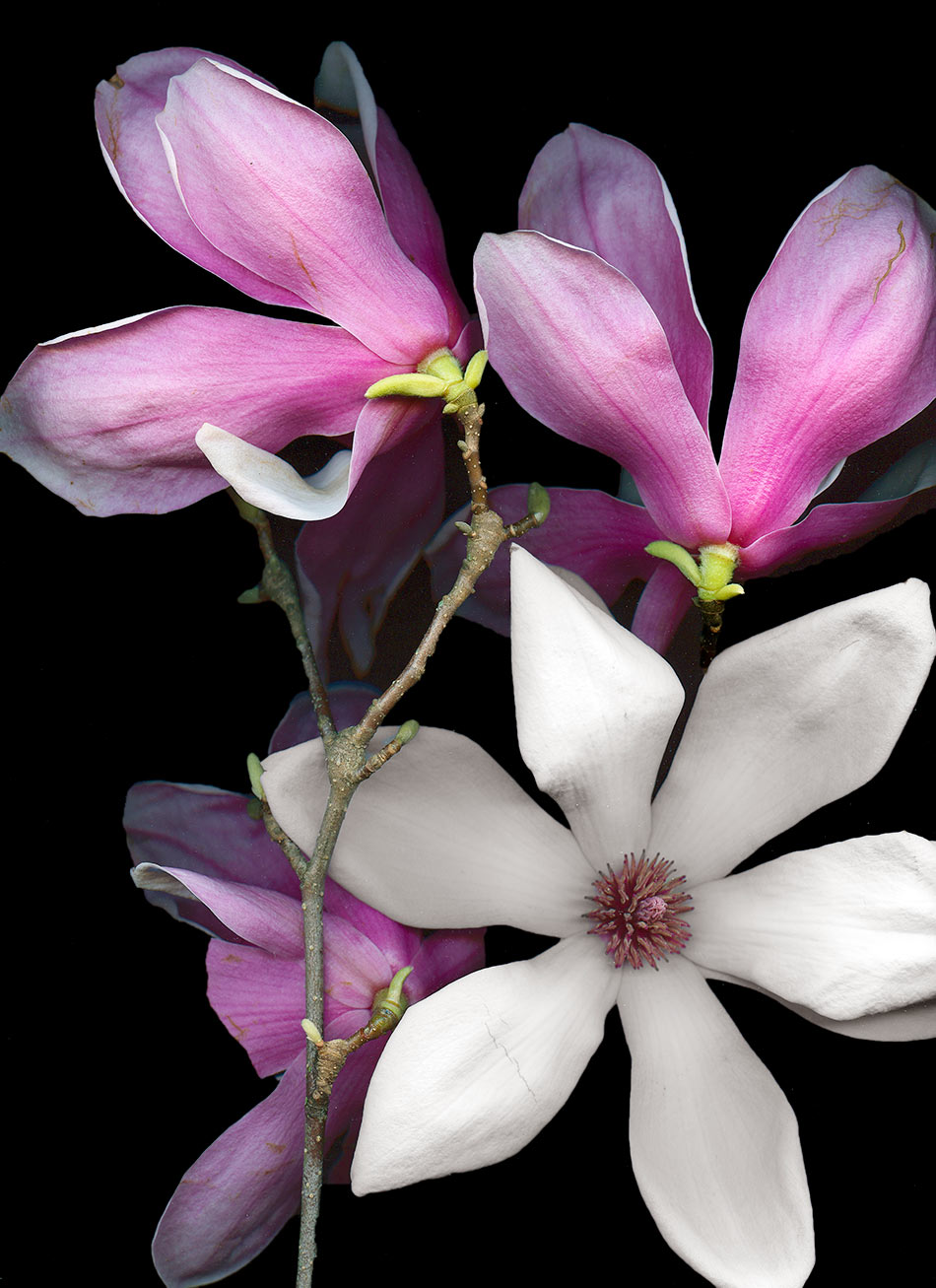 FirstMagnolias01