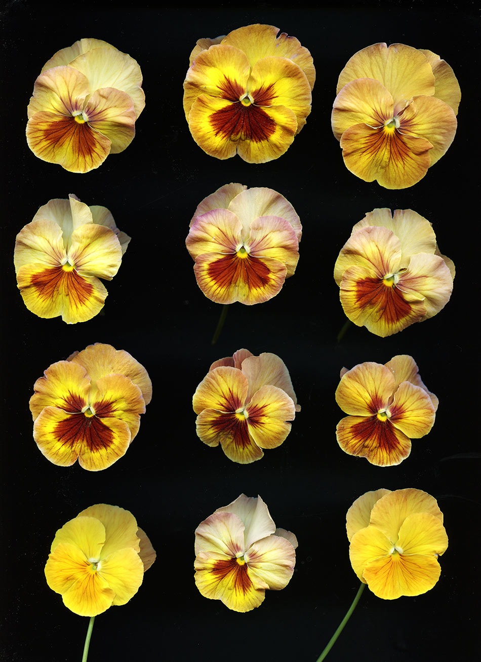 YellowPansy2A